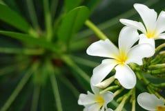 Wihite-Blumen mit Blatt im Hintergrund Stockbilder