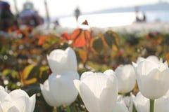 Wihite czerwieni tulipany obrazy royalty free