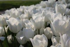 Wihite red tulips. White red tulips macro close up stock image