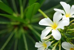 Wihitebloemen met blad op de achtergrond stock afbeeldingen
