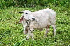 Wihte母牛在草甸 库存照片