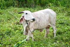 Wihte cow in meadow Stock Photo
