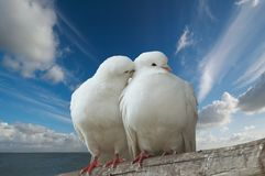 Wihte doves in love. Two love birds against blue sky