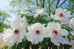 Wihte peony flowers Stock Images