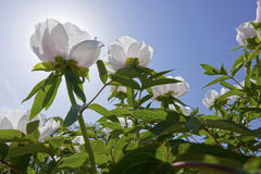 Wihte peony flowers Royalty Free Stock Photo