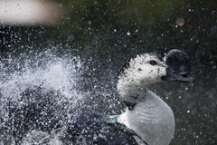 Wiild Duck while splashing on water Stock Photography