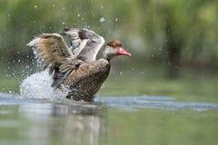 Wiild Duck while splashing on water Royalty Free Stock Photos