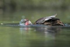 Wiild Duck while splashing on water Stock Photography