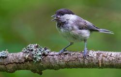 Wiilow Tit perched on heavily lichen covered branch calls and cry stock photos