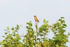 Wiinchat bird Royalty Free Stock Photo