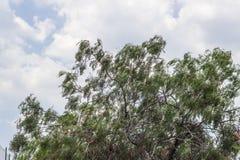 Wijd geschoten van de boom van de kornalijnkers met donkere weerhemel in Izmir in Turkije stock afbeeldingen