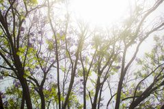 Wijd geschoten van een blad en lange boom met violette bloemen, met een schijnsel van licht bij zijn bovenkant royalty-vrije stock afbeeldingen