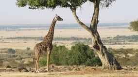 Wijd geschoten van een giraf het kauwen acaciabladeren in Masai Mara stock videobeelden