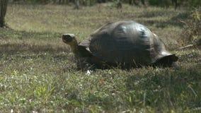 Wijd geschoten van een het voeden reuzeschildpad op islasanta cruz in de Galapagos stock videobeelden