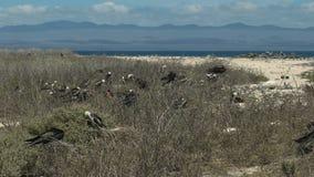 Wijd geschoten van frigatebirds die in galalagos nestelen stock footage