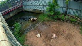 Wijd geschoten van krokodil die aan water teruggaan stock video