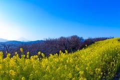 Wijd geschotene de bloemtuin van zonsondergangcanola royalty-vrije stock foto