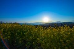 Wijd geschotene de bloemtuin van zonsondergangcanola stock foto's