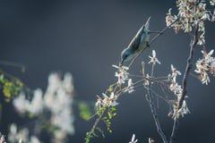 Wijfje die sunbird nectaring stock foto's