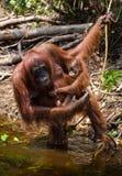 Wijfje en babyorangoetan drinkwater van de rivier in de wildernis indonesië Het eiland van Kalimantan & x28; Borneo& x29; stock afbeelding