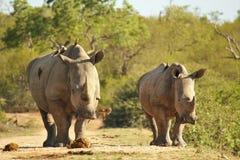 Wijfje en kalfs Witte Rinoceros Royalty-vrije Stock Foto's
