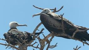 Wijfje frigatebird in de galalagoseilanden, Ecuador stock footage