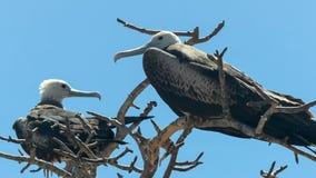Wijfje frigatebird in de galalagoseilanden, Ecuador stock foto's