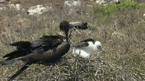 Wijfje frigatebird en kuiken op een nest bij isla Nth Seymour in de Galapagos stock videobeelden