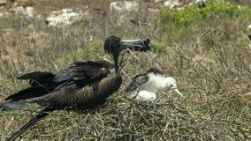Wijfje frigatebird en kuiken op een nest bij isla Nth Seymour in de Galapagos stock foto's