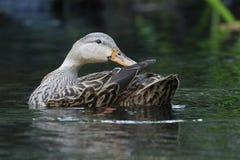 Wijfje Gevlekte Eend die haar veren op een rivier van Florida gladstrijken royalty-vrije stock afbeeldingen