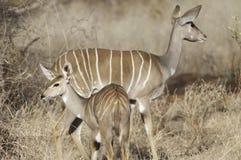 Wijfje Kleinere Kudu Royalty-vrije Stock Afbeelding