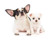 Wijfje van Chihuahua en zijn puppy Stock Fotografie