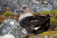 Wijfje van de zuiden zit het Polaire Jager op eieren in een nest Stock Afbeeldingen