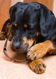 Wijfje van een hond van ras een Rottweiler tegen sneeuw Royalty-vrije Stock Foto