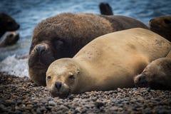 Wijfje van een zeeleeuw die op het kiezelsteenstrand liggen op de kust van Argentinië stock afbeelding