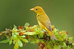 Wijfje van Oranje vogel vlam-Gekleurde Tanager, Piranga-bidentata Tanagerzitting op mooie mostak met duidelijke achtergrond Ben Royalty-vrije Stock Foto's