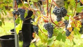 Wijn het oogsten stock video