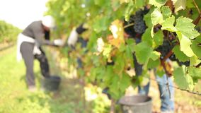 Wijn het oogsten stock footage