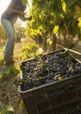 Wijn het oogsten Stock Afbeelding
