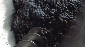 Wijn maken, blauwe wijnstokdruiven die proces in de wijnmakerij malen bij het oogsten van seizoen stock footage