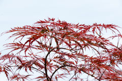 Wijn-rode bladeren van het Japanse hoogtepunt van de esdoornboom Royalty-vrije Stock Afbeelding
