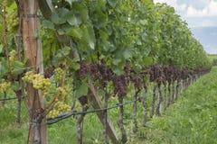 Wijnbouw Stock Foto's