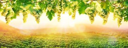 Wijnbouw bij Zonsondergang - het Witte Druiven Hangen royalty-vrije stock foto's