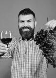 Wijnbouw en de herfstconcept De wijnhandelaar toont de oogstmens met baard bos van druiven houdt royalty-vrije stock foto's