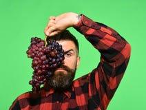 Wijnbouw en het tuinieren concept De mens met baard houdt bos van druiven op groen worden geïsoleerd die stock foto's