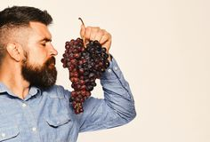 Wijnbouw en het tuinieren concept De mens met baard houdt zwarte druiven royalty-vrije stock afbeelding