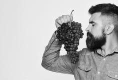 Wijnbouw en het tuinieren concept De mens met baard houdt zwarte druiven stock afbeelding