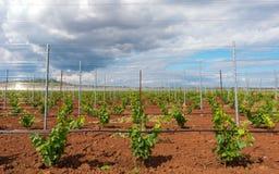 Wijnbouw met druivenjonge boompjes stock afbeelding