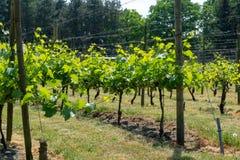 Wijnbouw in Nederland, Nederlandse organische wijngaard in het Noorden Brab stock foto