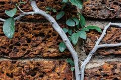 Wijnbouw op een rotsmuur Stock Foto's